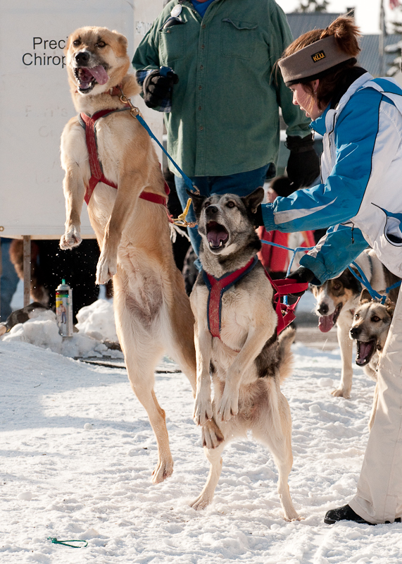 Excited dogs at the start line